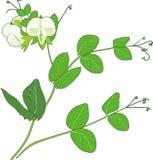 Groch gałąź z kwiatami i zielenią opuszcza odosobniony na białym tle ilustracja wektor