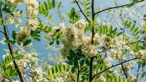 Grochodrzewu pseudoacacia lub fałszywa akacja z kwitnąć białych kwiaty w wiosna czasie, zielona drzewna szarańcza fotografia stock