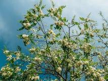 Grochodrzewu pseudoacacia lub fałszywa akacja z kwitnąć białych kwiaty w wiosna czasie, zielona drzewna szarańcza zdjęcia royalty free