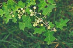Grochowa oberżyna, solanum torvum - Grochowy Aubergine, Susumber, Indyczy b zdjęcia royalty free