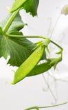 Grochowa roślina Zdjęcie Royalty Free