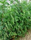 grochowa roślina Zdjęcia Royalty Free