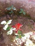 grochowe rośliny Fotografia Royalty Free