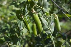 Grochowi strąki wiesza na roślinie w ogródzie, legume obrazy stock