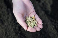 Grochowi ziarna w palmie kobieta rolnik Czerep kobiety ręka obraz royalty free