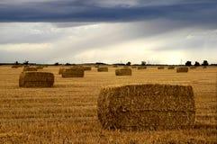 grochowina pola Zdjęcie Stock