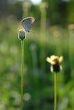Grochowy Błękit 2, (Lampides boeticus) Fotografia Stock