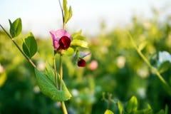 Grochu kwiat w rolniku zdjęcie royalty free
