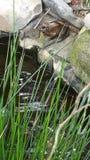 Groda över dammet Royaltyfri Bild