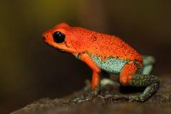 Groda för pil för gift för röd Poisson groda grynig, Dendrobates granuliferus, i naturlivsmiljön, Costa Rica Sällsynta Amphibien  arkivbild