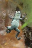 Groda för Pumilio giftpil som klättrar ett exponeringsglas Arkivfoto