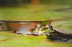 Groda Grodan ser ut ur vatten i ett damm Ögon av en groda fotografering för bildbyråer
