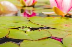 Groda Grodan ser ut ur vatten i ett damm n?ra en liljablomma h?rlig natur fotografering för bildbyråer