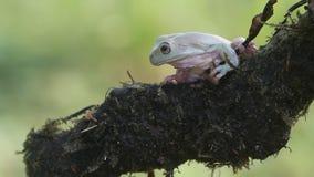 Groda grodor, trädgrodor, slut upp, amfibier arkivfilmer