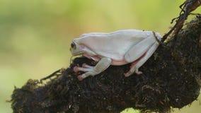 Groda grodor, trädgrodor, slut upp, amfibier stock video