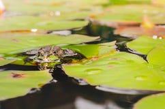 Groda h?rlig natur Groda som sitter p? liljabladet i dammet fotografering för bildbyråer