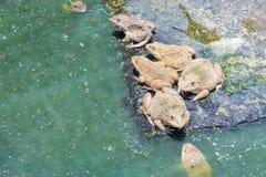 Groda i ett vatten - bad arkivfoto