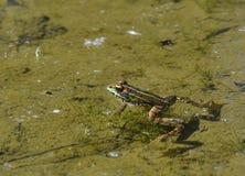 Groda i floden Fotografering för Bildbyråer