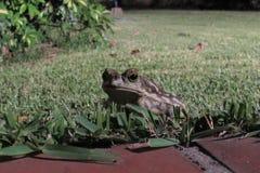 Groda i trädgården Royaltyfri Fotografi