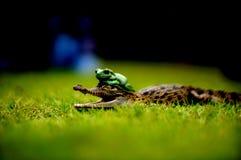 Groda och krokodil Arkivbilder