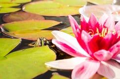 Groda- och liljablomma Ett damm med en groda och en blomma av en lilja h?rlig natur arkivfoto