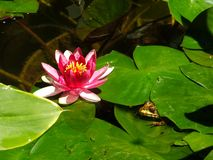 Groda och lotusblomma Royaltyfria Foton