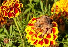 Groda på blomman Fotografering för Bildbyråer