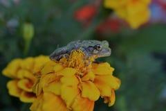 Groda på blomman Royaltyfri Foto