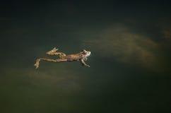 Groda på en flodsida Arkivbild