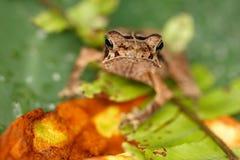 Groda på en leaf. Se. Royaltyfria Bilder
