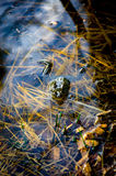 Groda på en skog Royaltyfri Foto