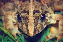Groda på ett grönt gräs, geometriskt symmetriskt grodahuvud fotografering för bildbyråer