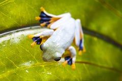 Groda på leafen Arkivfoton