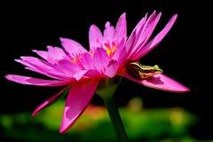 Groda på lotusblomma Fotografering för Bildbyråer