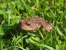 Groda - padda i gräset Arkivfoto