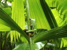 Groda röda synade Costa Rica Arkivfoto