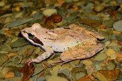 Groda (Ranamacrocnemis) royaltyfri fotografi