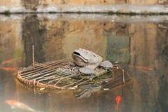 Groda, sköldpaddor och fiskar i sjön av den Yuantong templet royaltyfria bilder
