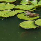 Groda som lilly sitter på ett block i vattnet royaltyfri fotografi