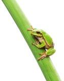 Groda som sitter på en leaf Royaltyfri Bild