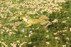 Groda som svävar i sjön Arkivbild