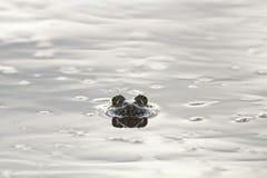 Groda som ut från under kikar det skinande vattnet arkivbild