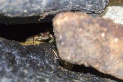 Groda under stenen Royaltyfria Foton