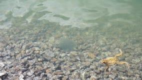 Grodafiskrom i en bergsjö med en stenbottenkaviar som grodan simmar in i ramen arkivfilmer
