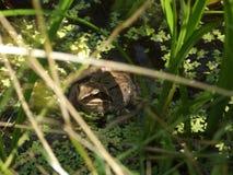 Grodan döljer i busksnår Arkivbilder