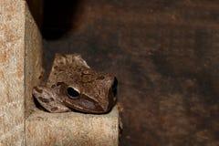 Grodan grodor är amfibiska vertebratdjur, grodor som ligger på den gamla träväggen, Polypedatesleucomystax Royaltyfri Foto