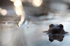 Grodan head tillbaka i vatten Arkivfoto