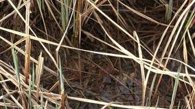 Grodan simmar i grunt vatten, sjön En brun groda dyker under vattnet Fjädra laken arkivfilmer