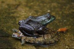 Grodan sitter på en sköldpadda i ett damm arkivbilder