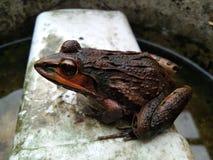 Grodan vilar på vattenhinken royaltyfria foton